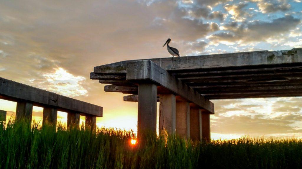 pelican at rest as sun rises