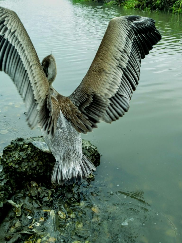 Pelican on oyster